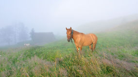 Horse. Red horse grazes in the Carpathians village Lazeshchyna. Summer. Early in the morning. Foggy morning Royalty Free Stock Image