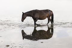 A horse is reflected in Song Kul lake. In Kyrgyzstan Stock Images