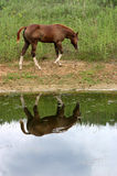 Horse Reflection. Chestnut filly with four white stockings and blaze face, walking along edge of pond and reflected in the water, gray overcast sky, summer Stock Photography