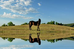 Horse reflection. The horse water reflection effect Royalty Free Stock Photo