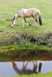 Horse and reflection Royalty Free Stock Image