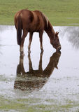 Horse reflection. A Horse standing in and drinking from a pool of water while being reflected in this pool stock photography