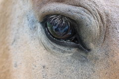 Horse's eye. Reflexion in eye Stock Images