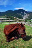 Horse relaxing. Brown hourse relax on the grass Stock Photos