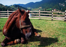 Horse relaxing. Brown horse relaxing in the grass Royalty Free Stock Images
