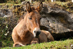Horse relaxing Royalty Free Stock Photography