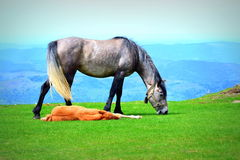 Horse and relaxing foal Stock Photography