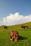Horse on rest. Royalty Free Stock Image
