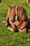 Horse on rest. Stock Photos
