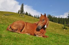 Horse on rest. Stock Images