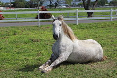 Horse. Rest on a pasture country side, Hawaii Stock Photography