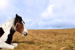 Horse resting Royalty Free Stock Photos