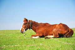 Horse resting on a grass field. Shot of a brown horse resting on a green grass field Stock Image