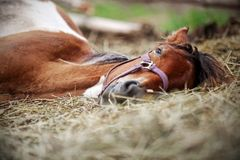 Horse resting in the hay. On the farm Stock Photos