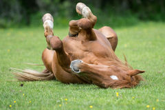 Horse resting on meadow Stock Image