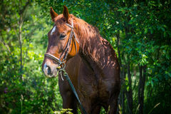 Horse resting after workout Royalty Free Stock Photo