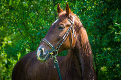 Horse resting after workout Stock Images