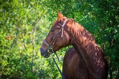 Horse resting after workout Stock Photos