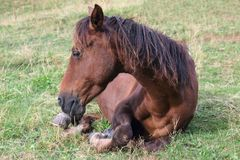 Horse rests on the grass after lunch Royalty Free Stock Photography