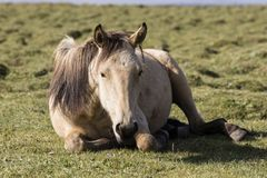 A horse rests in the steppe at Song Kul Lake. In Kyrgyzstan Stock Photos