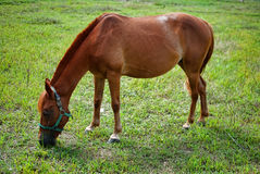 Horse in rice field. And blue sky Royalty Free Stock Images
