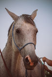 Horse before ride. Stock Photography