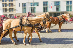 Horse ride. Several light brown horse ride through the street with saddle and coach Royalty Free Stock Photos