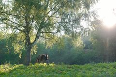 Horse with a rider on a beautiful forest landscape. Sunlight royalty free stock image