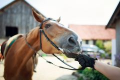 Horse rider pulls the reins. Before training Stock Photography