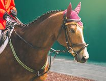 Horse and rider in red uniform at show jumping competition. Equestrian sport background. Sorrel horse head close up Stock Photography