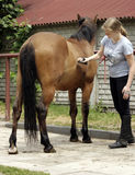 Girl grooming horse Royalty Free Stock Photography