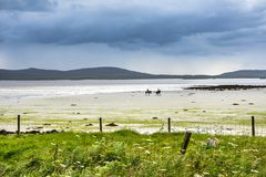 Horse riding on the sandy beach with the flowery machair field in the foreground. Isle of North Uist, Outer Hebrides, Scotland Royalty Free Stock Photography
