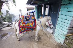 Horse riding sightseeing annapurna Stock Image