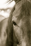 Horse Right Eye in Sepia Stock Images