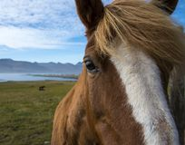 Horse on the Ringroad. Random horse on the ringroad in Iceland royalty free stock images