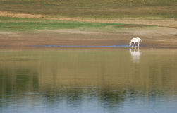 Horse on river royalty free stock photos