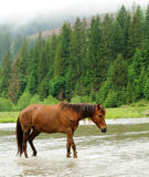 A horse in a river Stock Photos