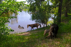 Horse at the river on a watering Royalty Free Stock Photography