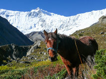 Horse and Roc Noir - morning in Tilicho base camp, Nepal Royalty Free Stock Images