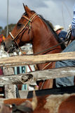 Horse at the Rodeo. A rider and his horse are about to chase and lasso a bull at the local rodeo Stock Photo