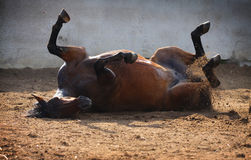 Horse rolling Stock Photography