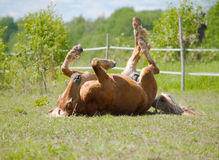 Horse rolling Royalty Free Stock Photography