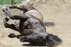 A horse rolling. Stock Image