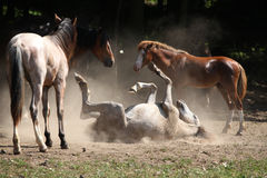 Horse rolling in the dust Stock Photos