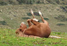 Horse rolling in the grass Stock Photography