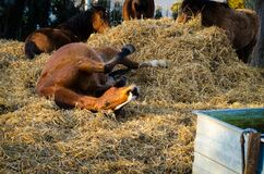 Horse rolling in hay Royalty Free Stock Photo
