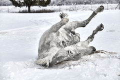 Horse Rolling in the Snow Stock Image