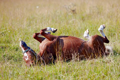 The horse rolls on a grass. Royalty Free Stock Images