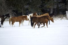 Horse Roundup. Scene from a horse round up in rural Montana Stock Photos