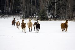 Horse Roundup stock photo